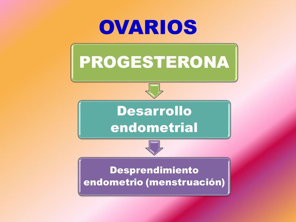 OVARIOS PROGESTERONA Desarrollo endometrial