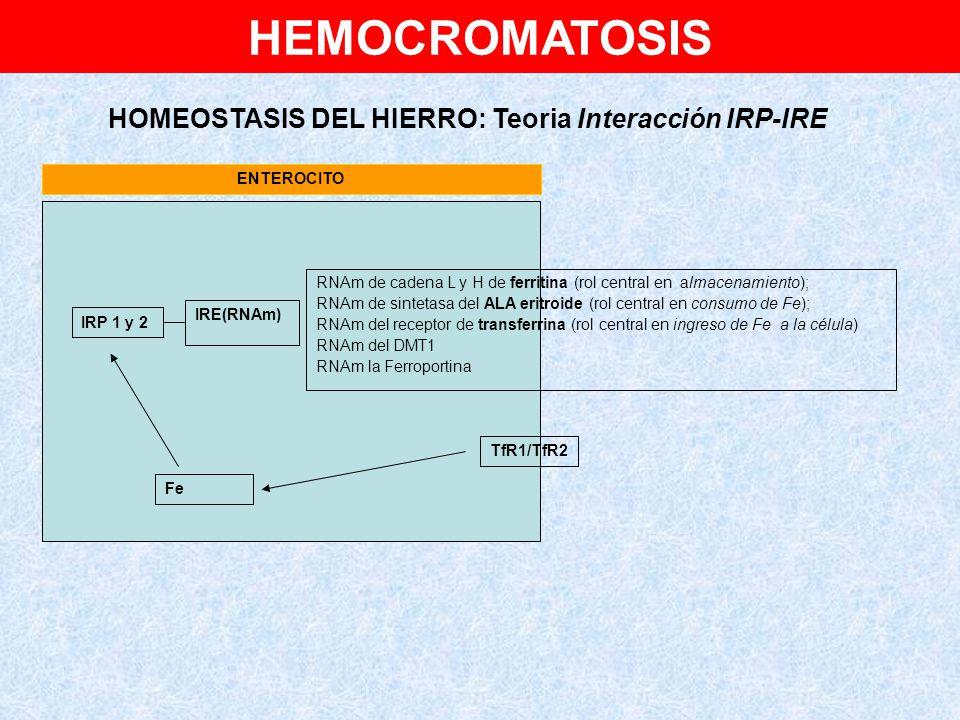 HEMOCROMATOSIS HOMEOSTASIS DEL HIERRO: Teoria Interacción IRP-IRE