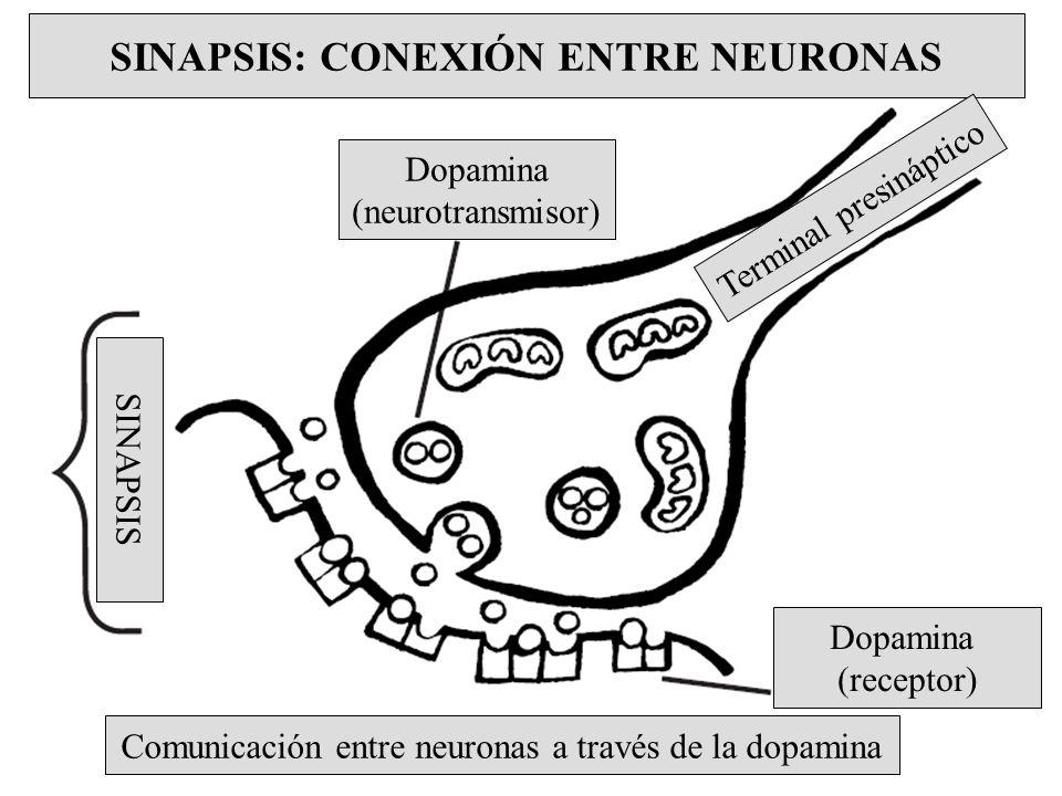 SINAPSIS: CONEXIÓN ENTRE NEURONAS