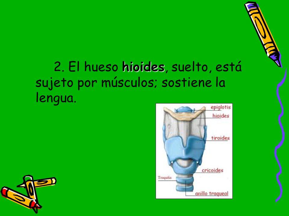2. El hueso hioides, suelto, está sujeto por músculos; sostiene la lengua.