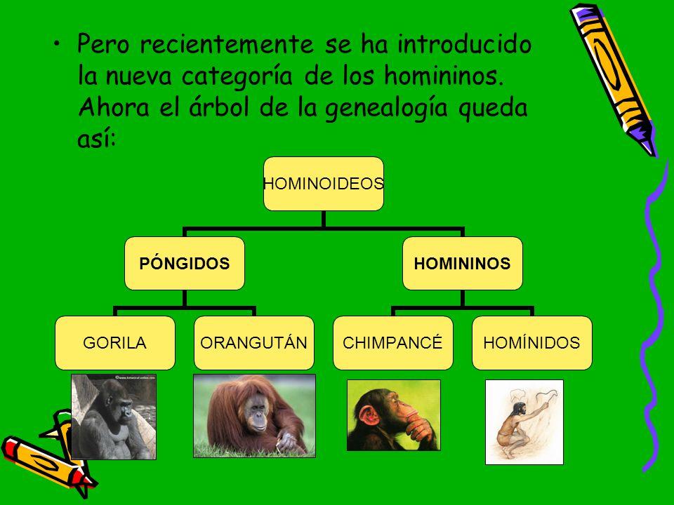 Pero recientemente se ha introducido la nueva categoría de los homininos.