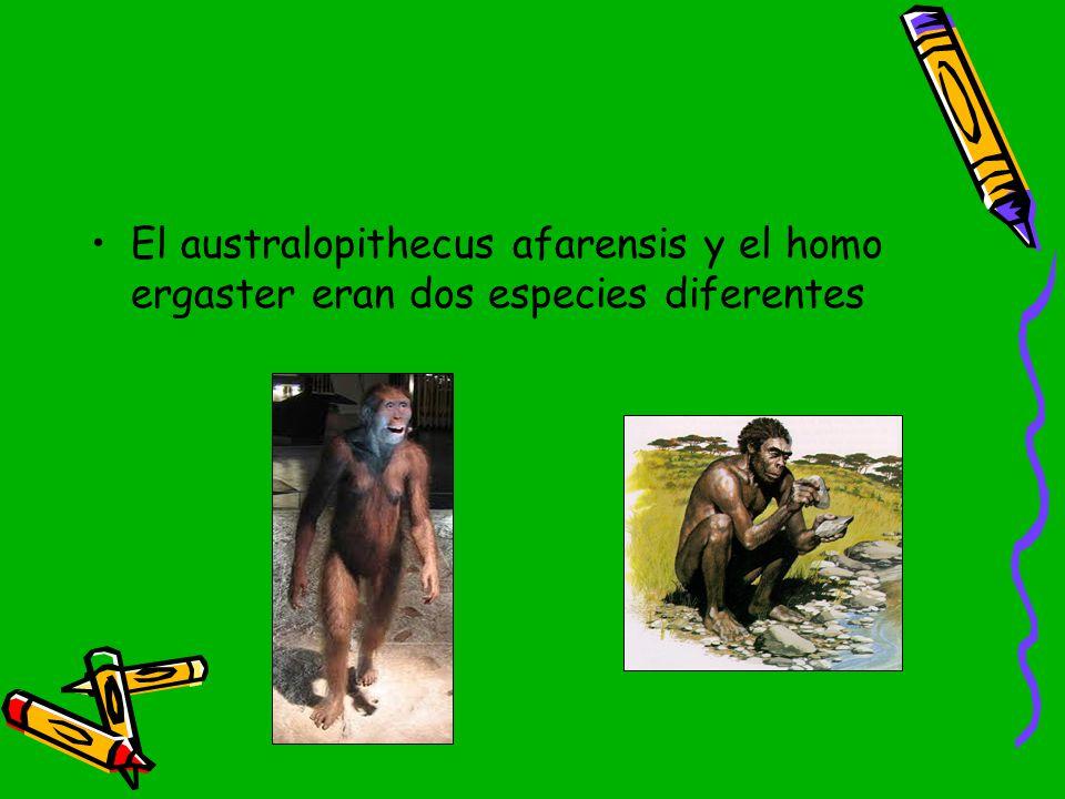El australopithecus afarensis y el homo ergaster eran dos especies diferentes