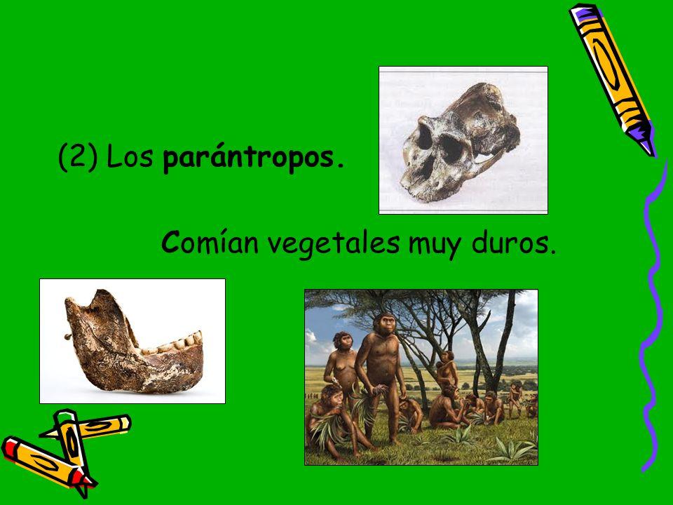 (2) Los parántropos. Comían vegetales muy duros.