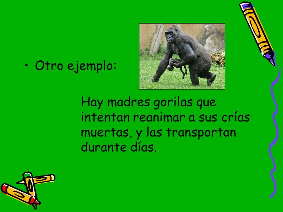 Otro ejemplo: Hay madres gorilas que intentan reanimar a sus crías muertas, y las transportan durante días.