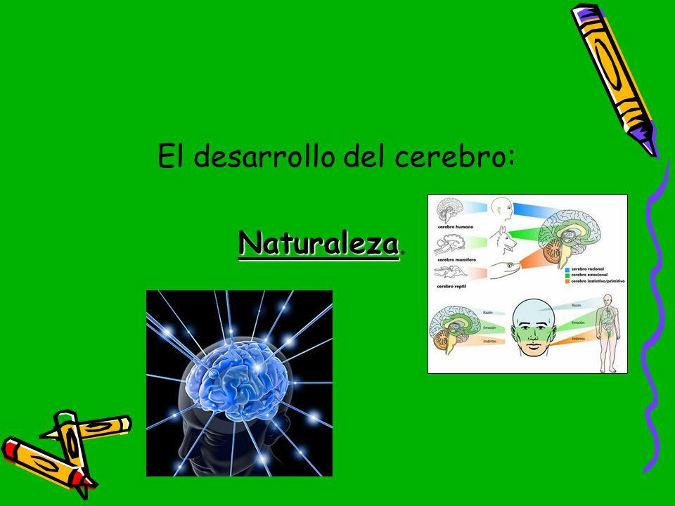 El desarrollo del cerebro: