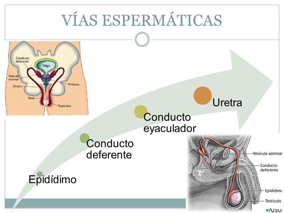 VÍAS ESPERMÁTICAS Uretra Conducto eyaculador Conducto deferente
