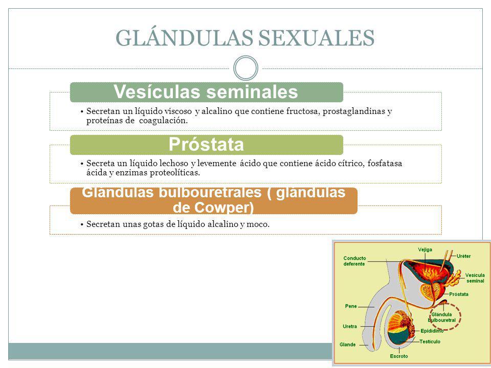 Glándulas bulbouretrales ( glándulas de Cowper)