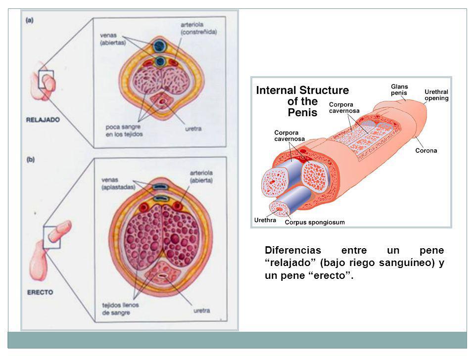 Diferencias entre un pene relajado (bajo riego sanguíneo) y un pene erecto .