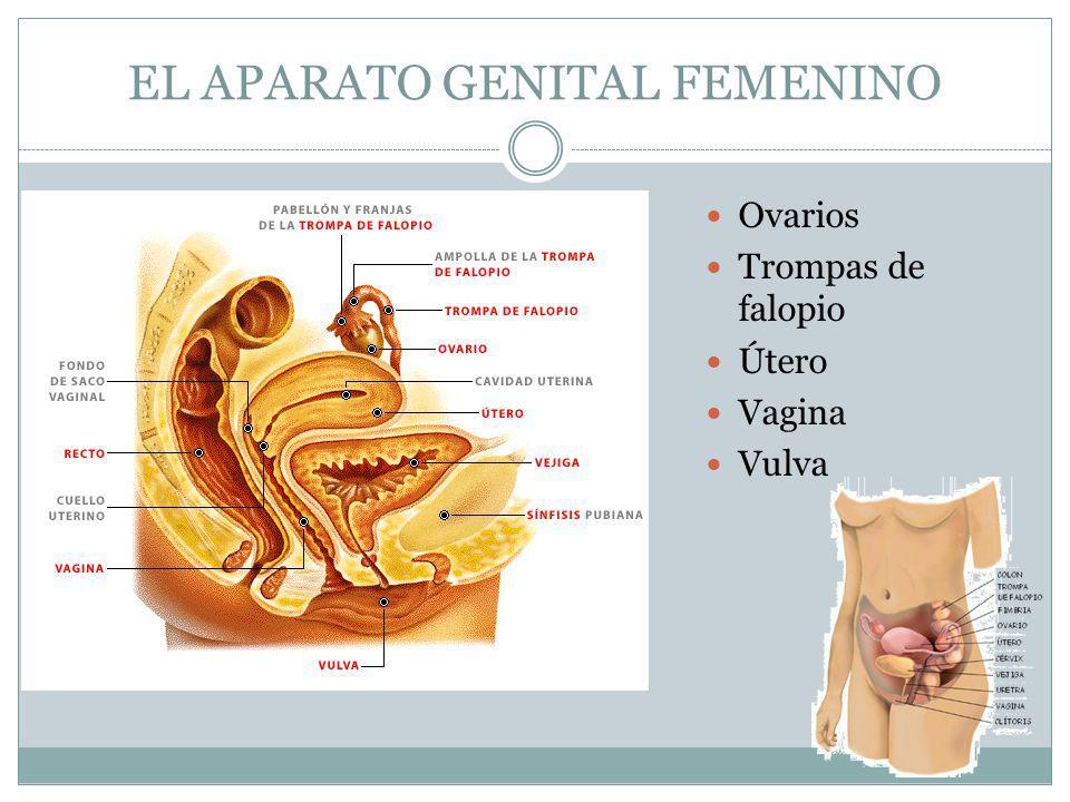 EL APARATO GENITAL FEMENINO