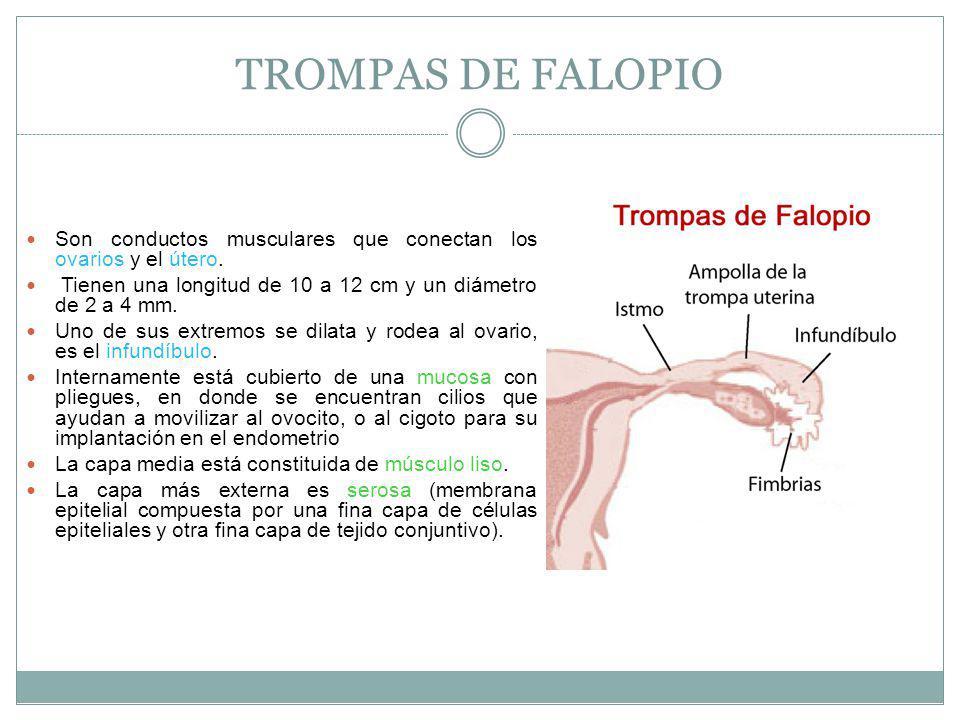 TROMPAS DE FALOPIO Son conductos musculares que conectan los ovarios y el útero. Tienen una longitud de 10 a 12 cm y un diámetro de 2 a 4 mm.