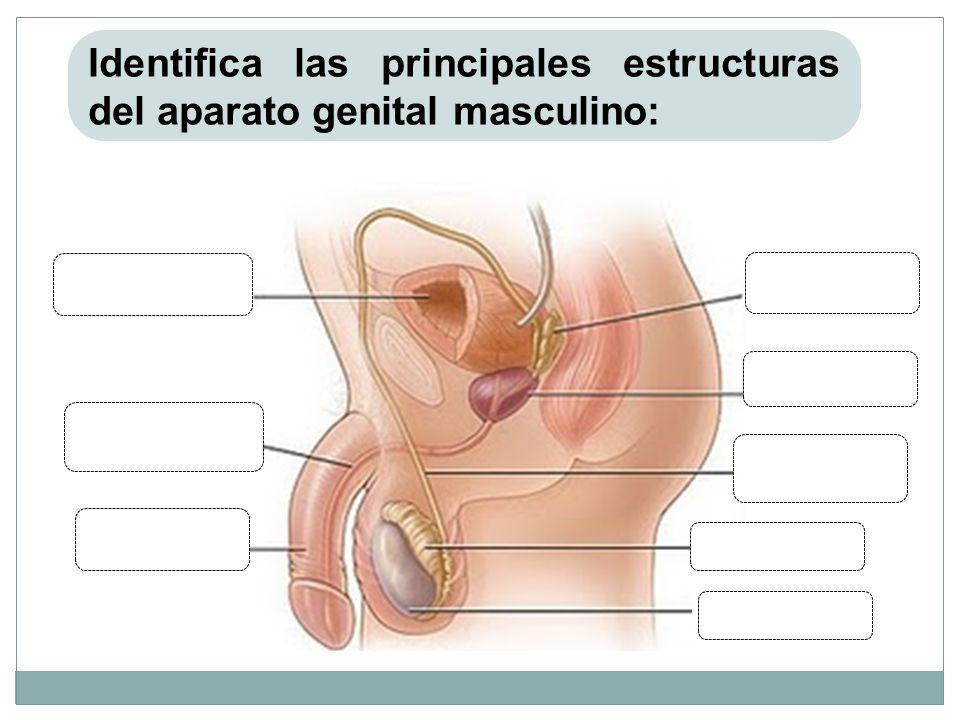 Identifica las principales estructuras del aparato genital masculino: