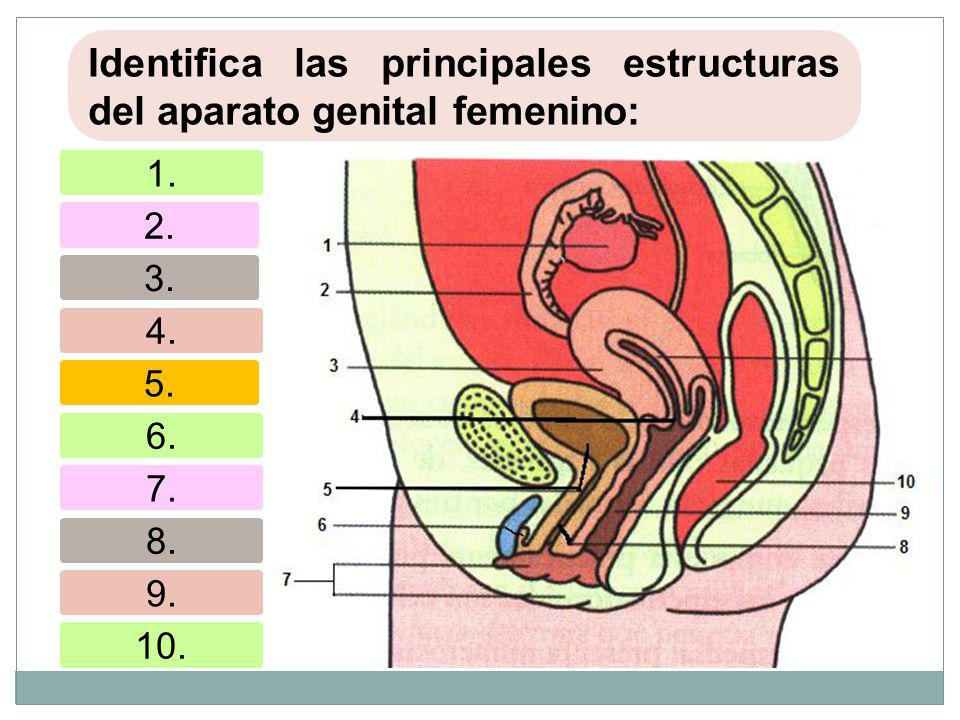 Identifica las principales estructuras del aparato genital femenino: