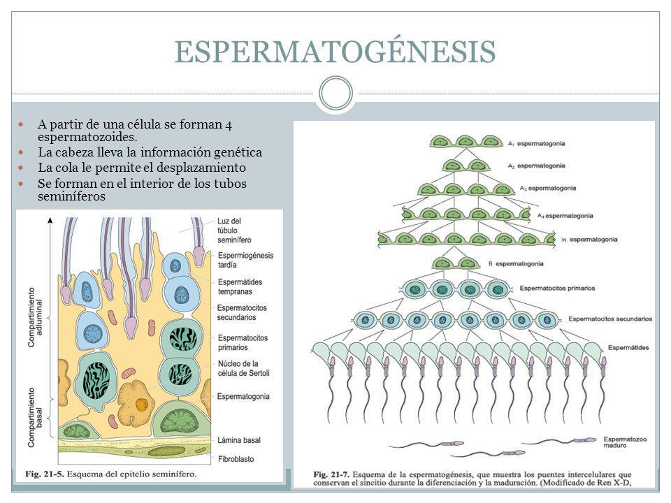 ESPERMATOGÉNESIS A partir de una célula se forman 4 espermatozoides.