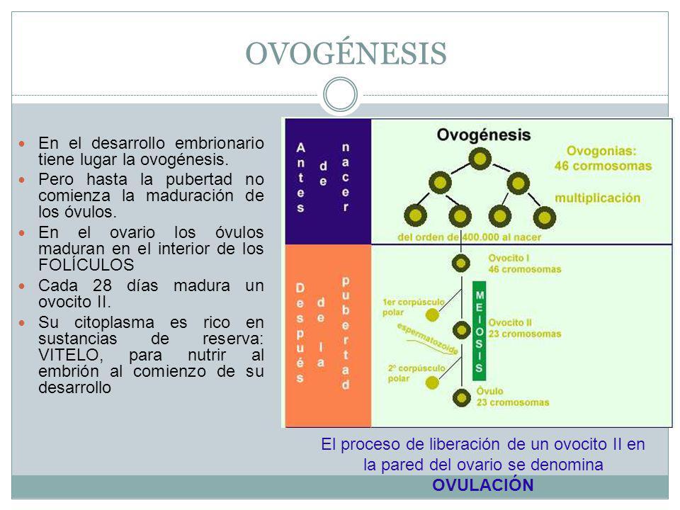 OVOGÉNESIS En el desarrollo embrionario tiene lugar la ovogénesis.
