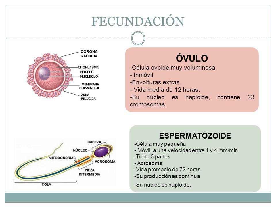 FECUNDACIÓN ÓVULO ESPERMATOZOIDE Célula ovoide muy voluminosa. Inmóvil