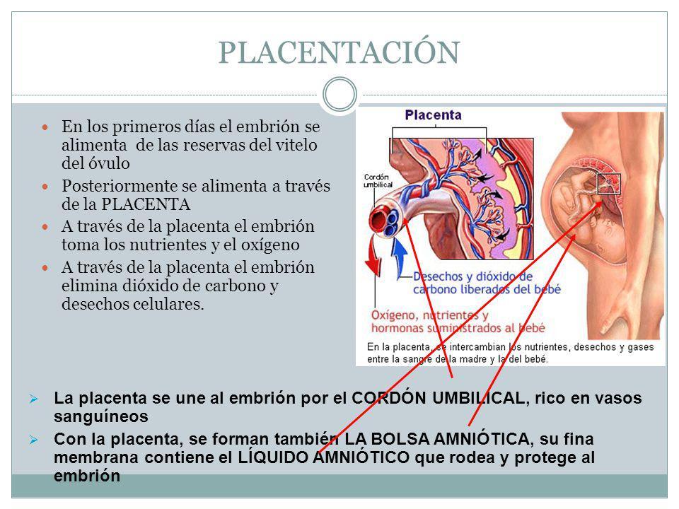 PLACENTACIÓN En los primeros días el embrión se alimenta de las reservas del vitelo del óvulo. Posteriormente se alimenta a través de la PLACENTA.
