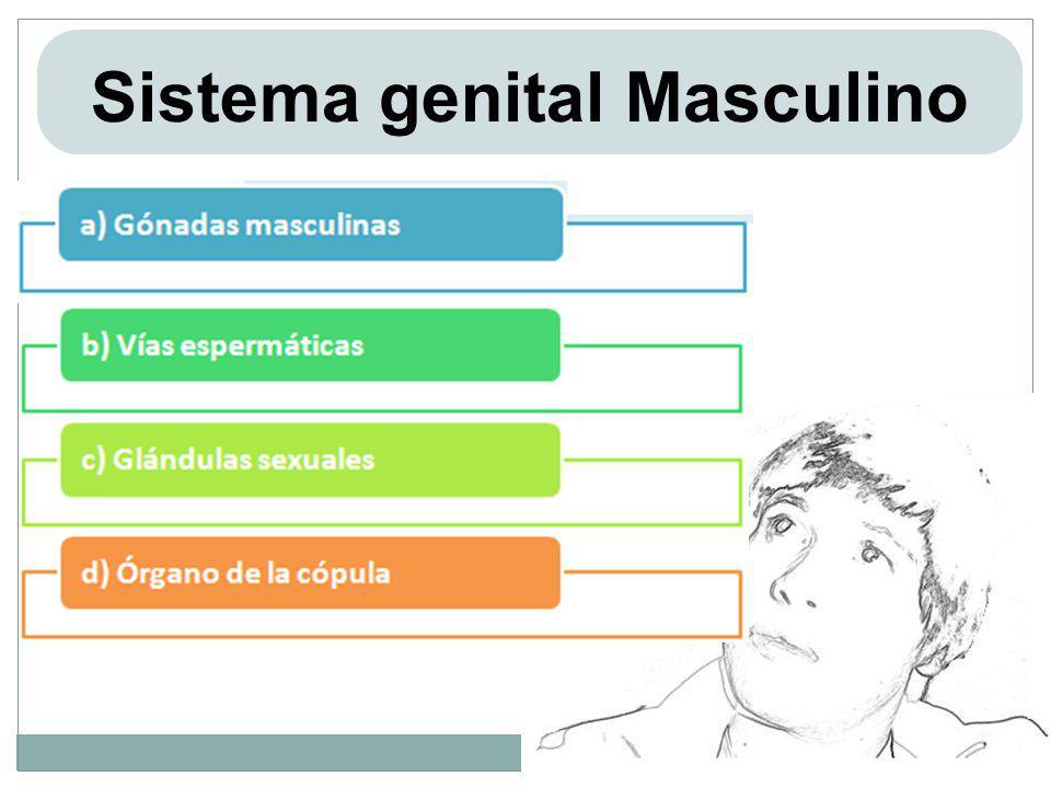 Sistema genital Masculino