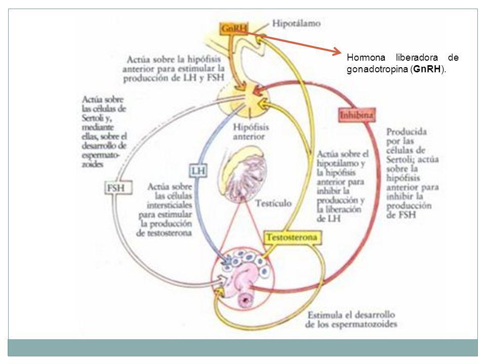 Hormona liberadora de gonadotropina (GnRH).
