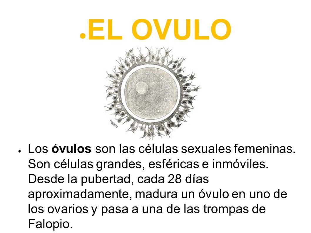 EL OVULO