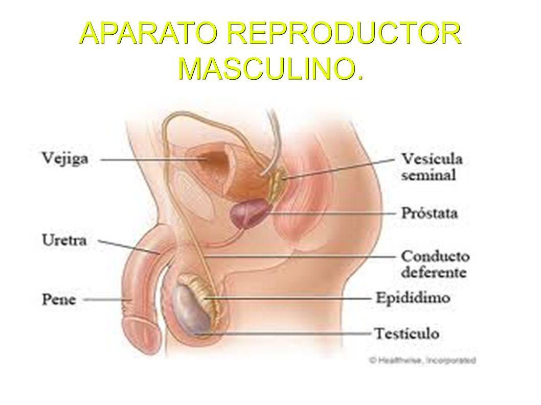 APARATO REPRODUCTOR MASCULINO.