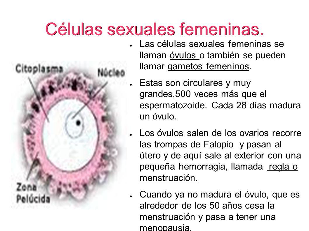 Células sexuales femeninas.