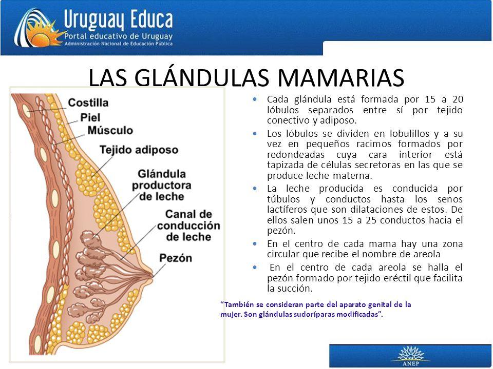 LAS GLÁNDULAS MAMARIAS