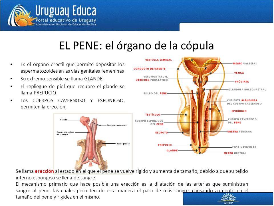 EL PENE: el órgano de la cópula