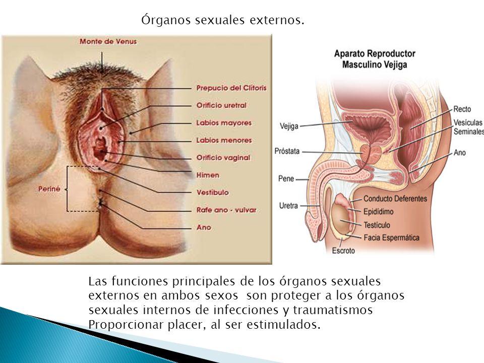 Órganos sexuales externos.