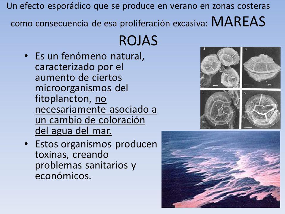 Un efecto esporádico que se produce en verano en zonas costeras como consecuencia de esa proliferación excasiva: MAREAS ROJAS