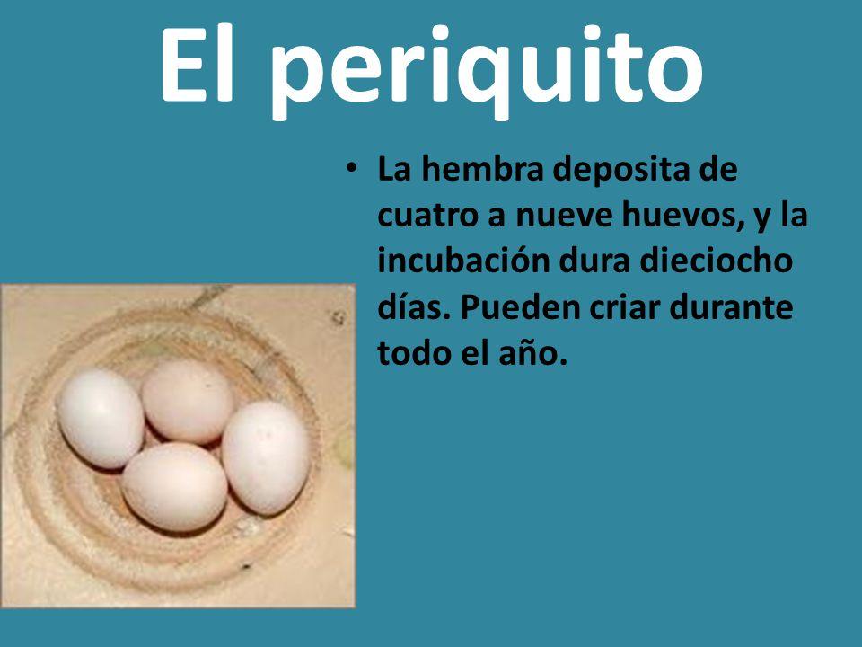El periquito La hembra deposita de cuatro a nueve huevos, y la incubación dura dieciocho días.