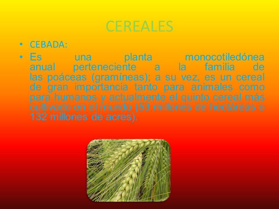 CEREALES CEBADA: