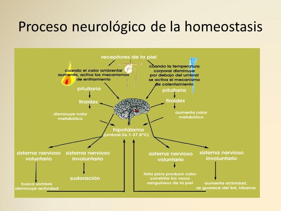 Proceso neurológico de la homeostasis