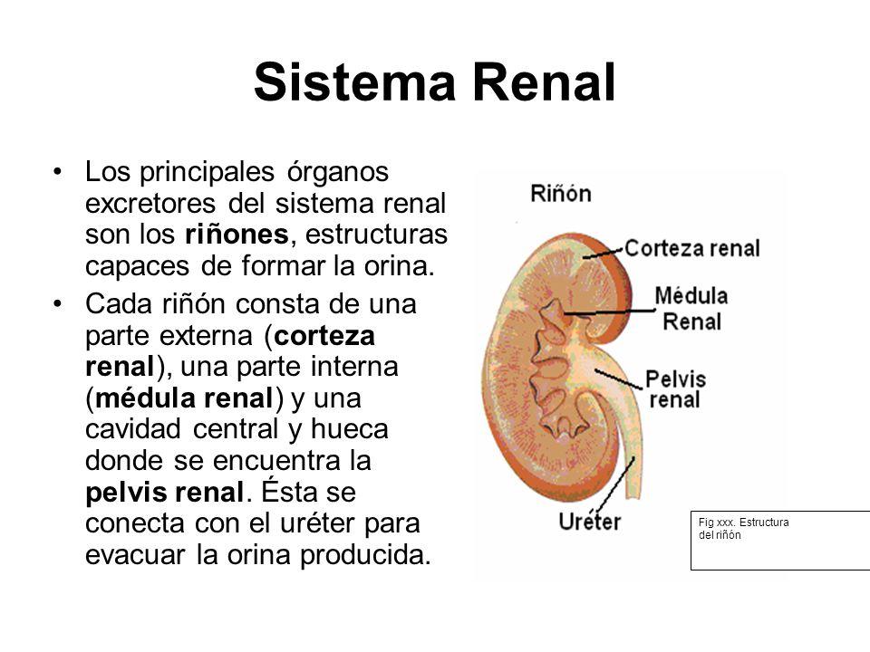 Sistema Renal Los principales órganos excretores del sistema renal son los riñones, estructuras capaces de formar la orina.