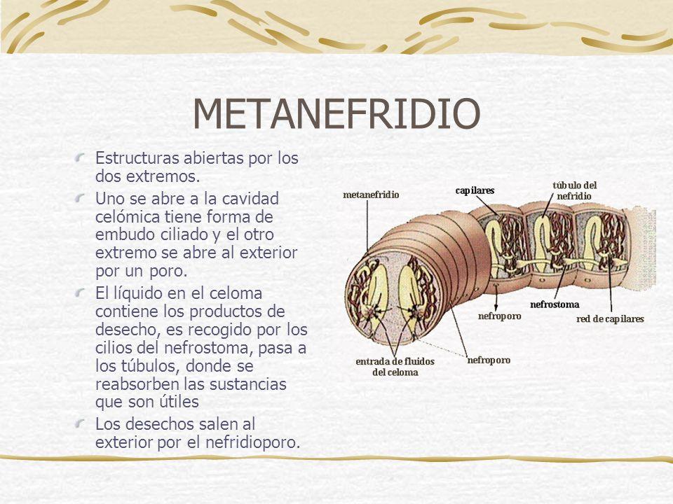 METANEFRIDIO Estructuras abiertas por los dos extremos.