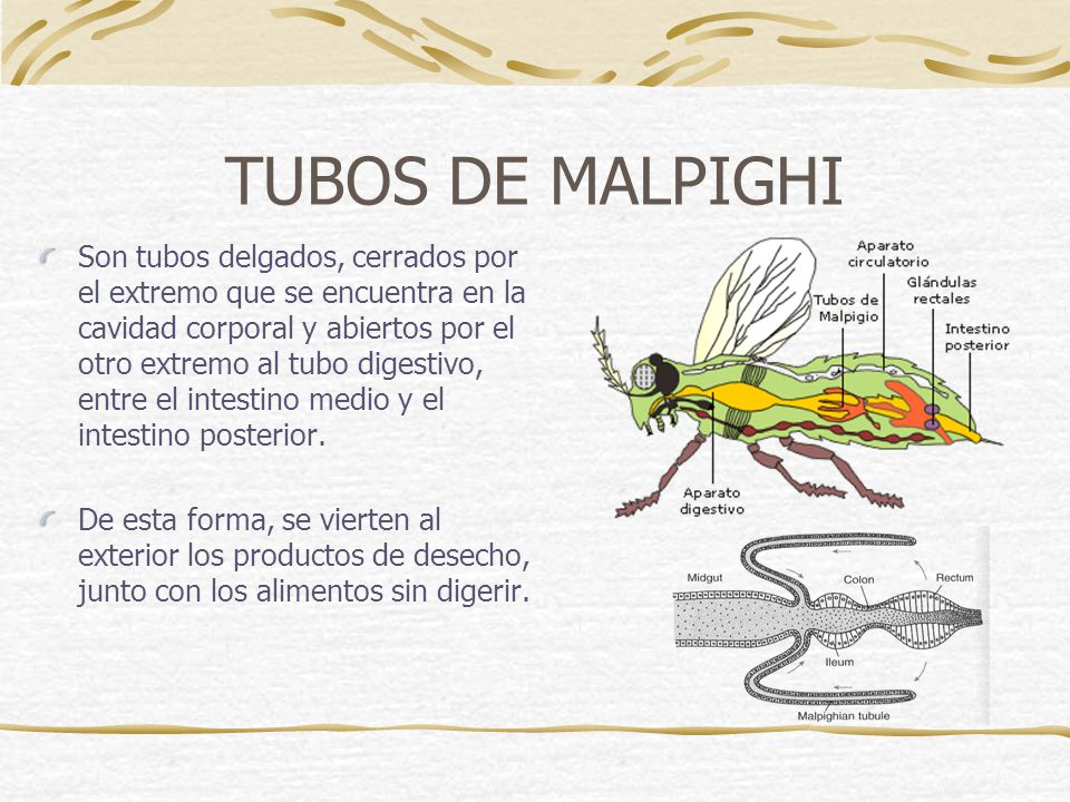 TUBOS DE MALPIGHI