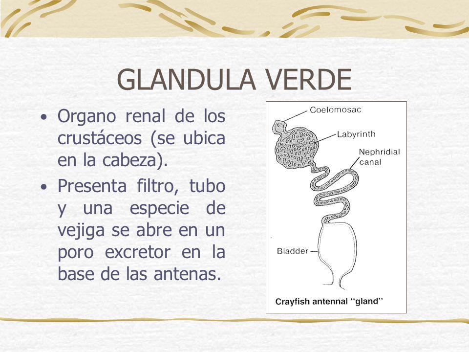 GLANDULA VERDE Organo renal de los crustáceos (se ubica en la cabeza).