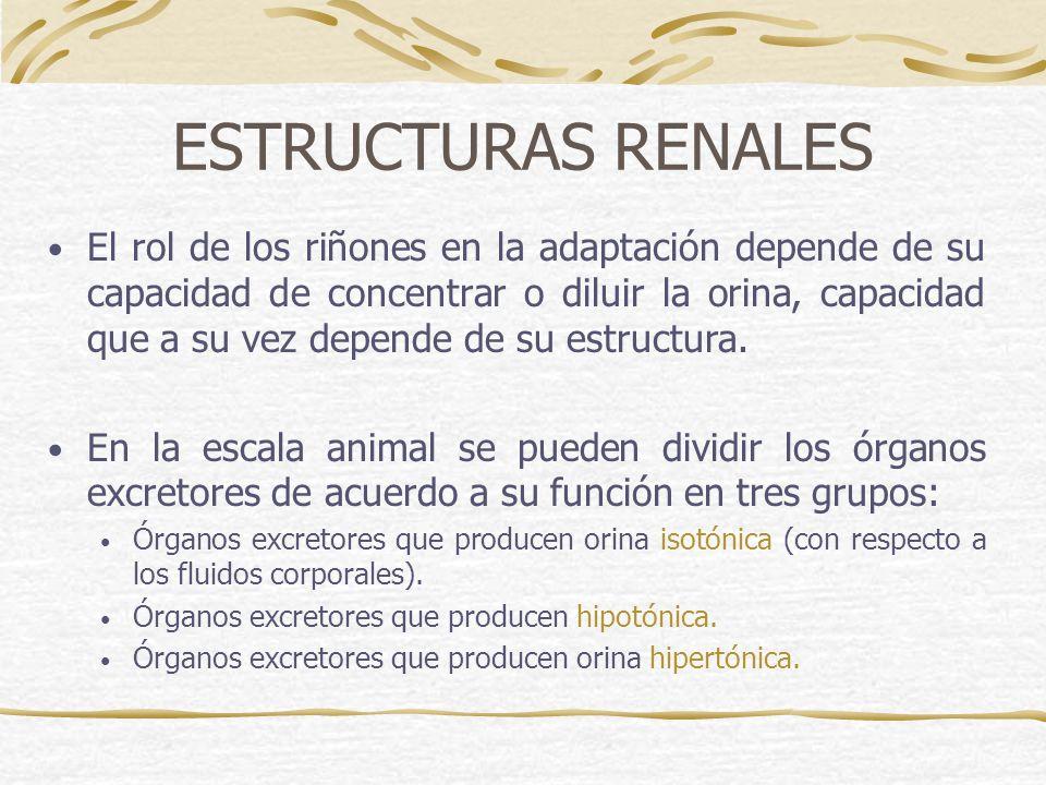ESTRUCTURAS RENALES