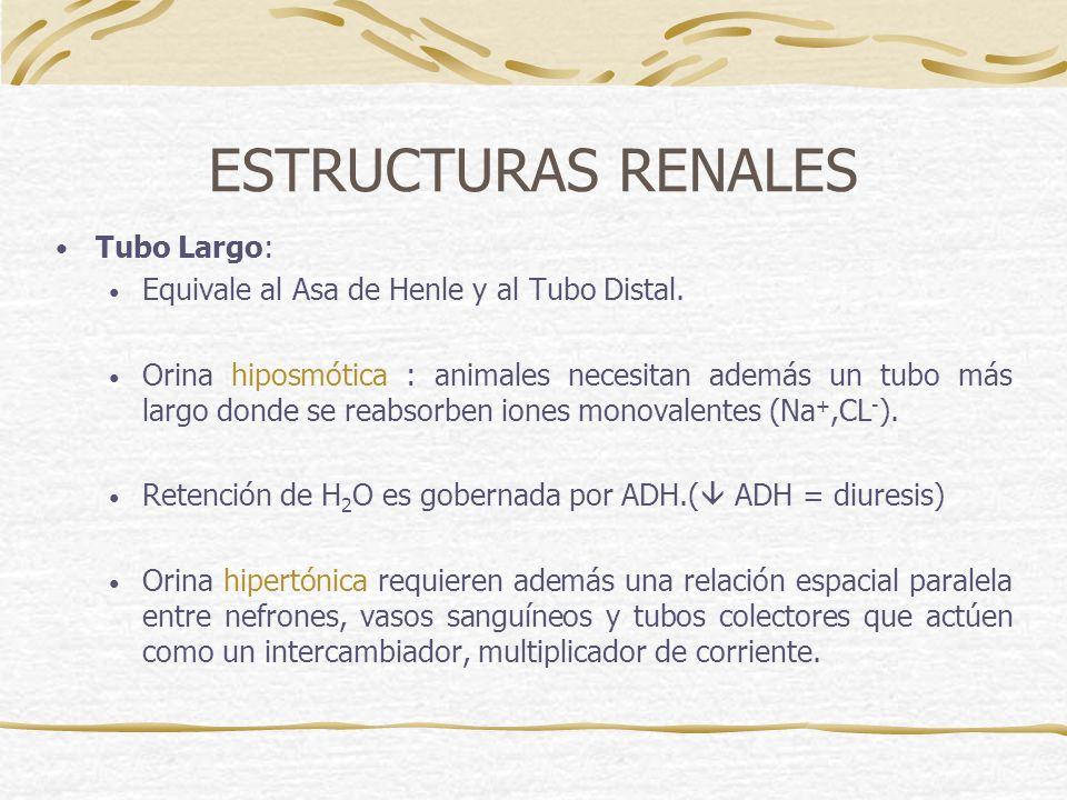 ESTRUCTURAS RENALES Tubo Largo: