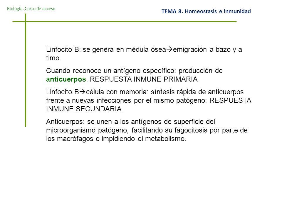 Linfocito B: se genera en médula óseaemigración a bazo y a timo.