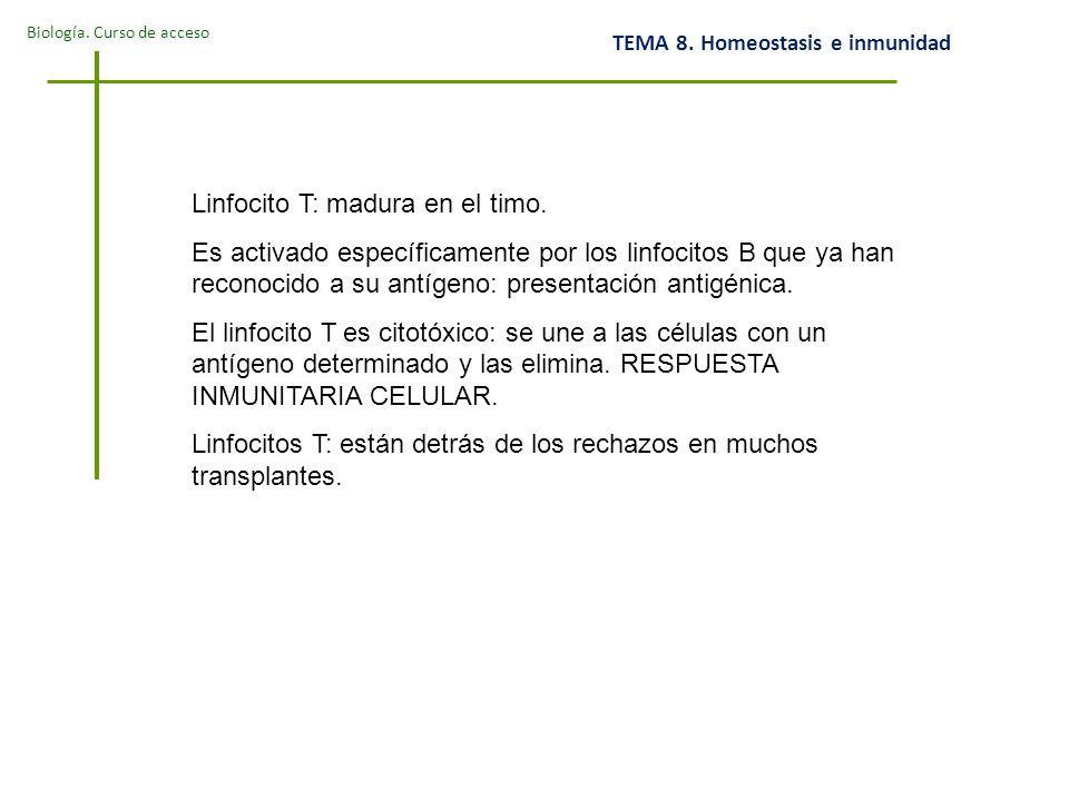 Linfocito T: madura en el timo.