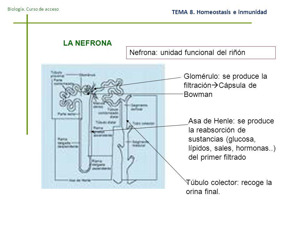 LA NEFRONA Nefrona: unidad funcional del riñón. Glomérulo: se produce la filtraciónCápsula de Bowman.