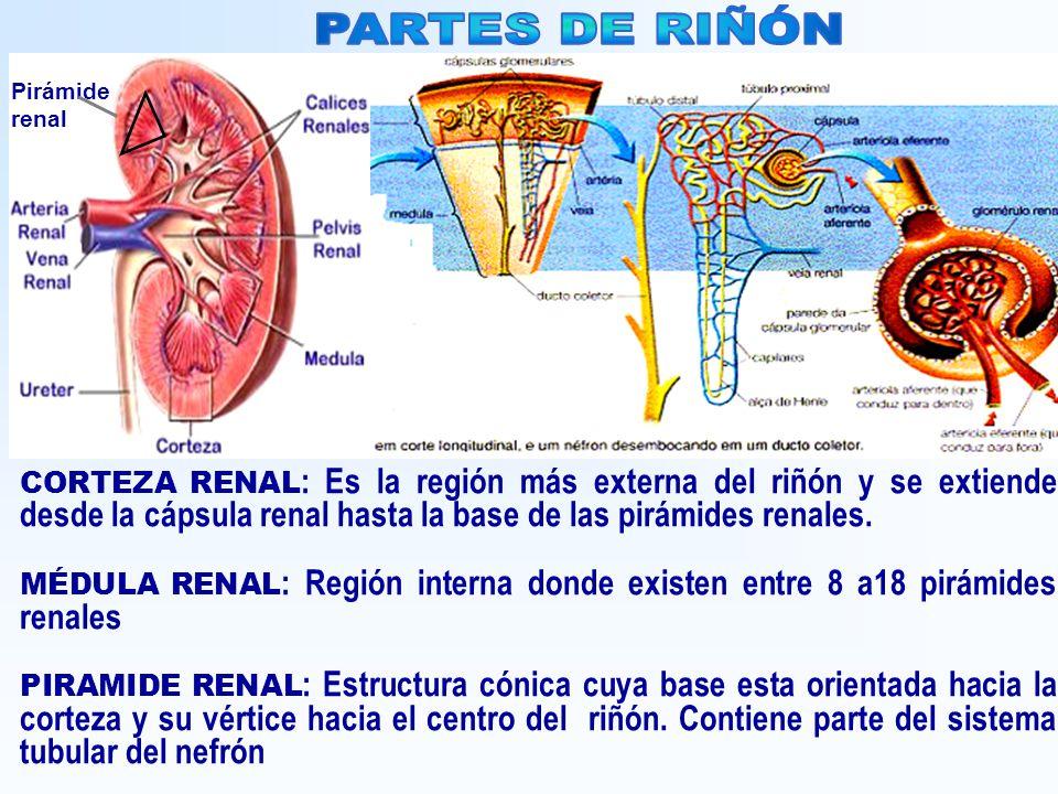 PARTES DE RIÑÓN Pirámide renal.