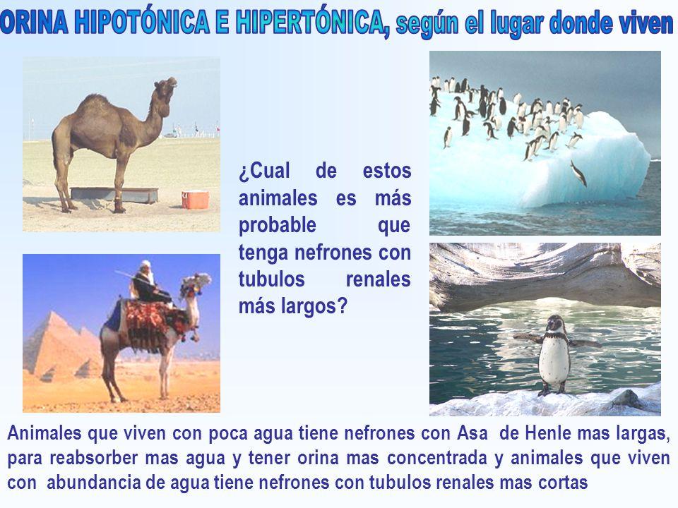 ORINA HIPOTÓNICA E HIPERTÓNICA, según el lugar donde viven