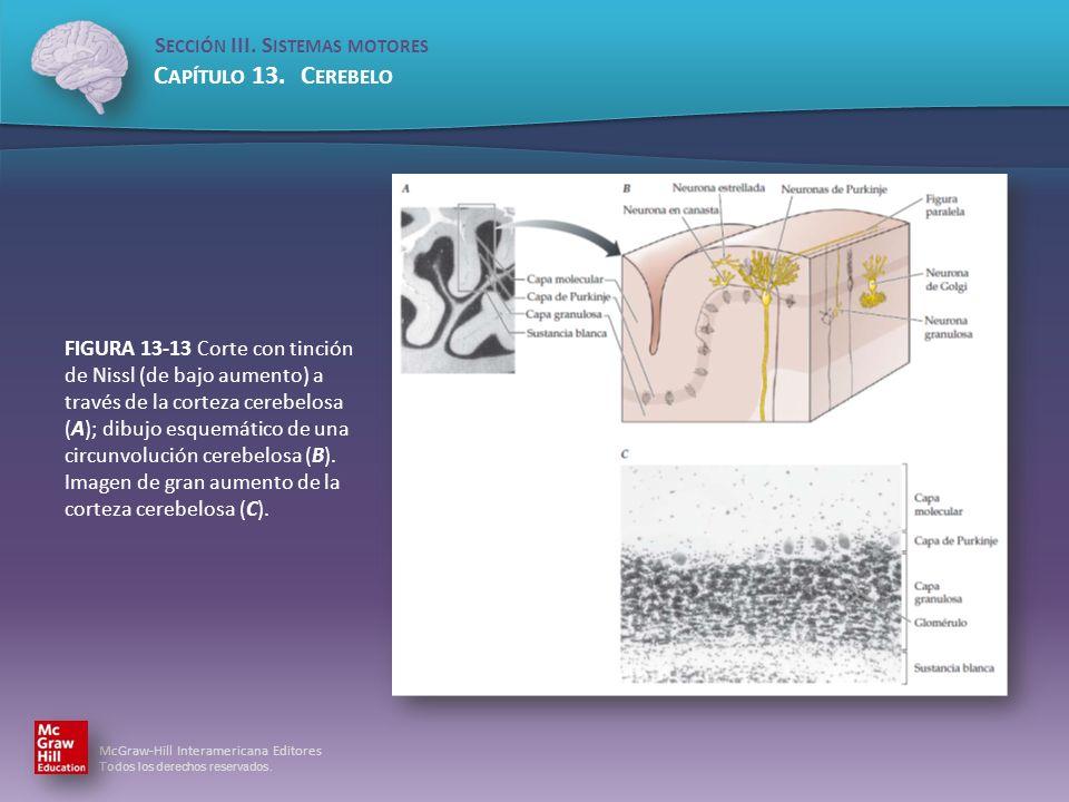 FIGURA 13-13 Corte con tinción de Nissl (de bajo aumento) a través de la corteza cerebelosa (A); dibujo esquemático de una circunvolución cerebelosa (B).