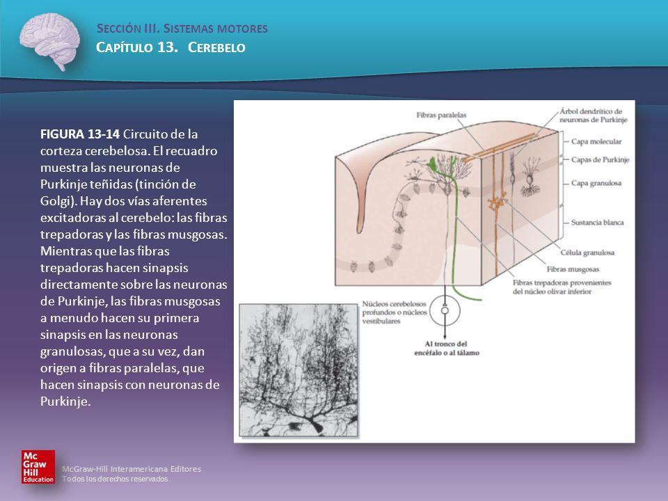 FIGURA 13-14 Circuito de la corteza cerebelosa