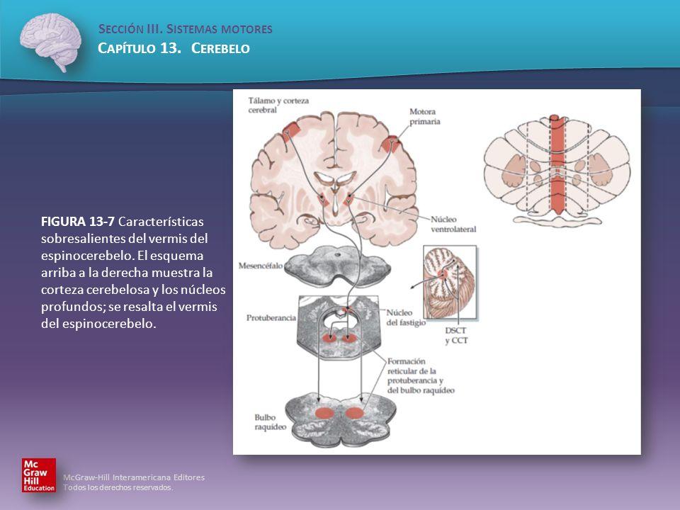 FIGURA 13-7 Características sobresalientes del vermis del espinocerebelo.