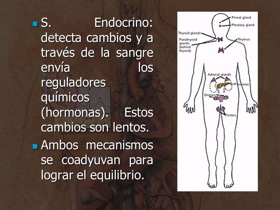 S. Endocrino: detecta cambios y a través de la sangre envía los reguladores químicos (hormonas). Estos cambios son lentos.