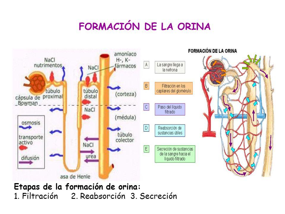 FORMACIÓN DE LA ORINA Etapas de la formación de orina: