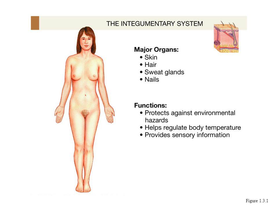 Funciones : Proteccion Regulacion de temperatura Irritabilidad; sensaciones Figure 1.3.1