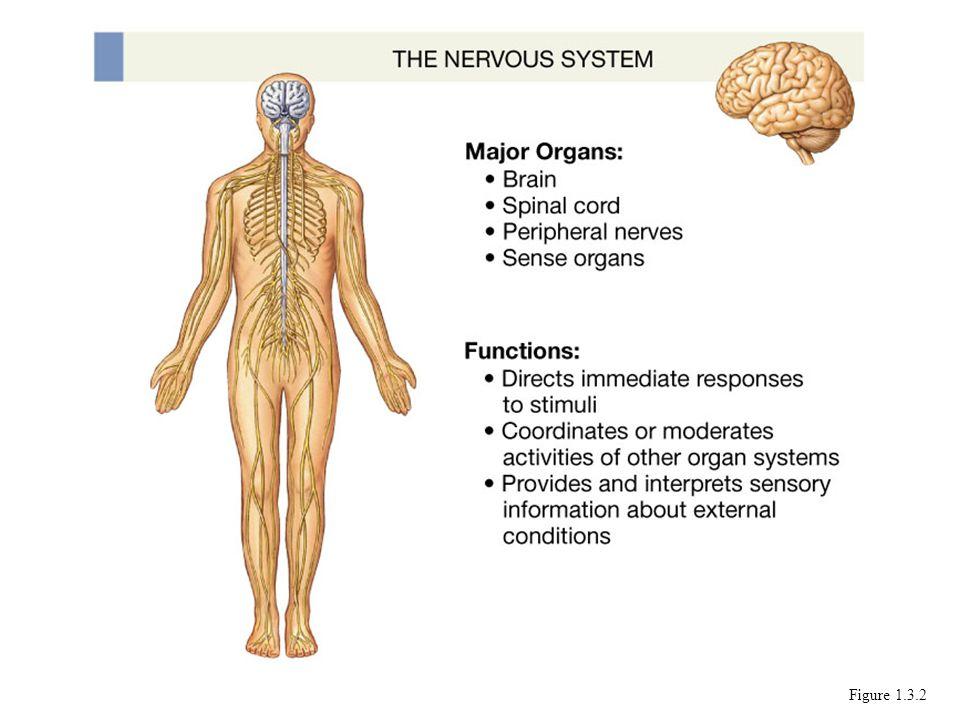 Funciones Sensorial- capta. Coordina –sensacion con respuestas y organos. Integra las respuesta de cada organos o sistema.